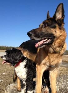 Schäferhund Rico und seine Hundefreundin Lilli