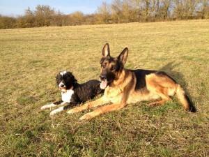 Schäferhund Rico mit seiner Hundefreundin Lilli liegen auf der Wiese