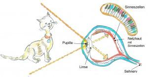 Sehen konkret mit Katze