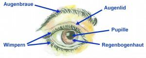Teile des Auges