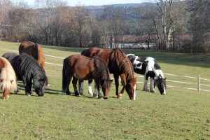 Diese Ponys fressen mit vielen Freunden auf der Weide. Das ist artgerecht.
